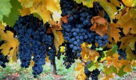 Vendemmia 2010 in Campania, quale vino?