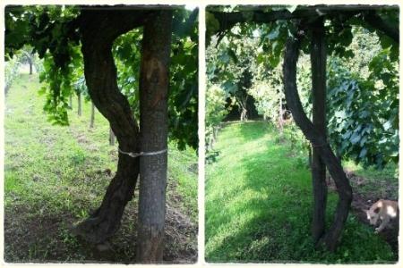 Vigne Vecchie del Piante a Lapio - foto Courtesy of Jaoquin A.A