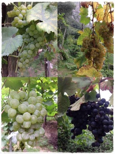 Biancolella, Falanghina, Greco (Ciunchesa) - foto L'Arcante