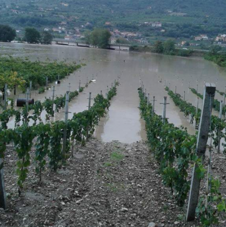 Una delle vigne sommerse - foto Corriere del Sannio