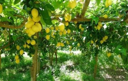 limoneti-e1538207015301.jpg